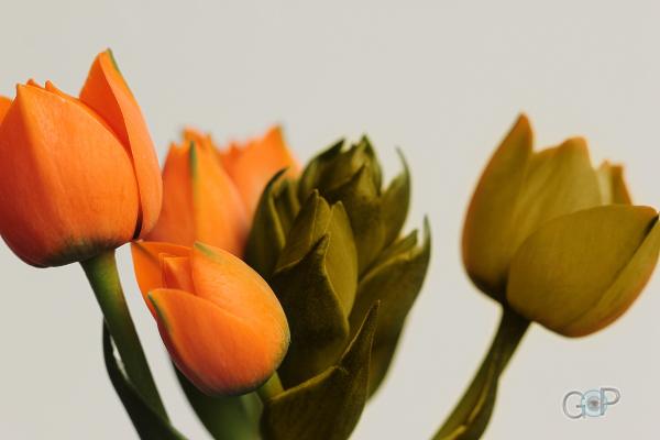 orange und schwarz-weiße Tulpen