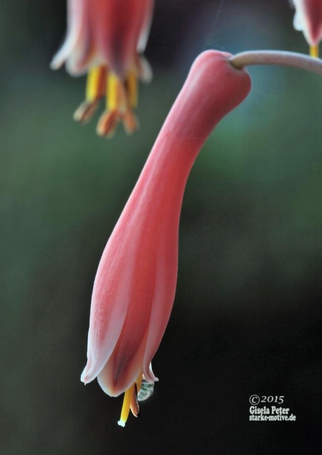 Aloeverablüten-Makro